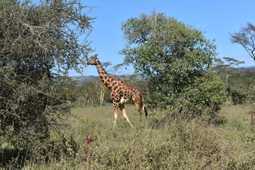 safari nel lake nakuru-giraffe