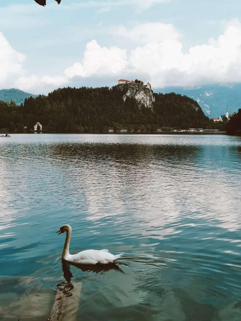 due giorni sul lago di Bled-cigno