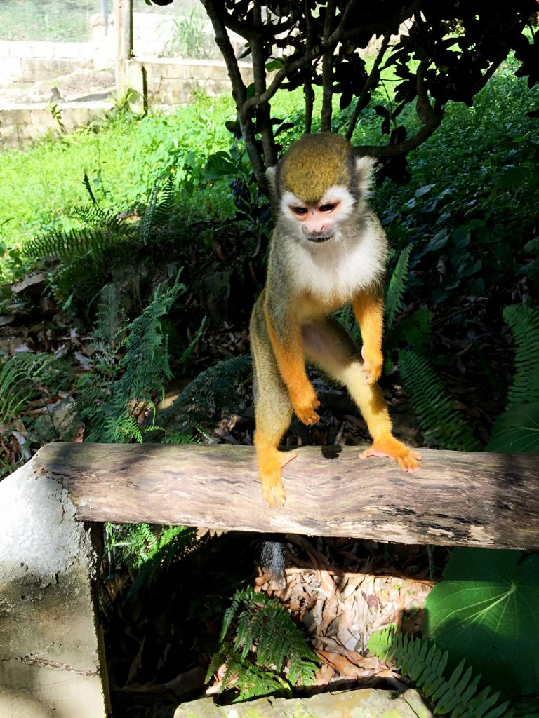 monkeyland a punta cana-scimmia-monkeyland