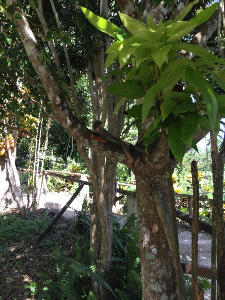 monkeyland a punta cana-scimmietta-dormiente