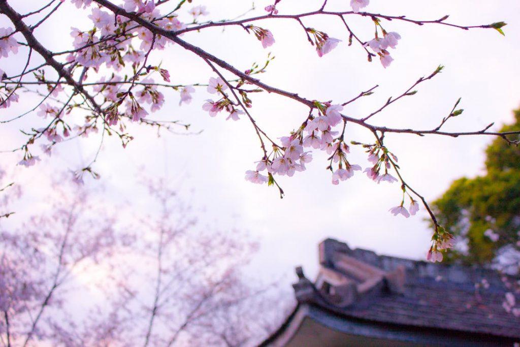 100 luoghi da vedere prima di morire-fioritua-ciliegi-giappone