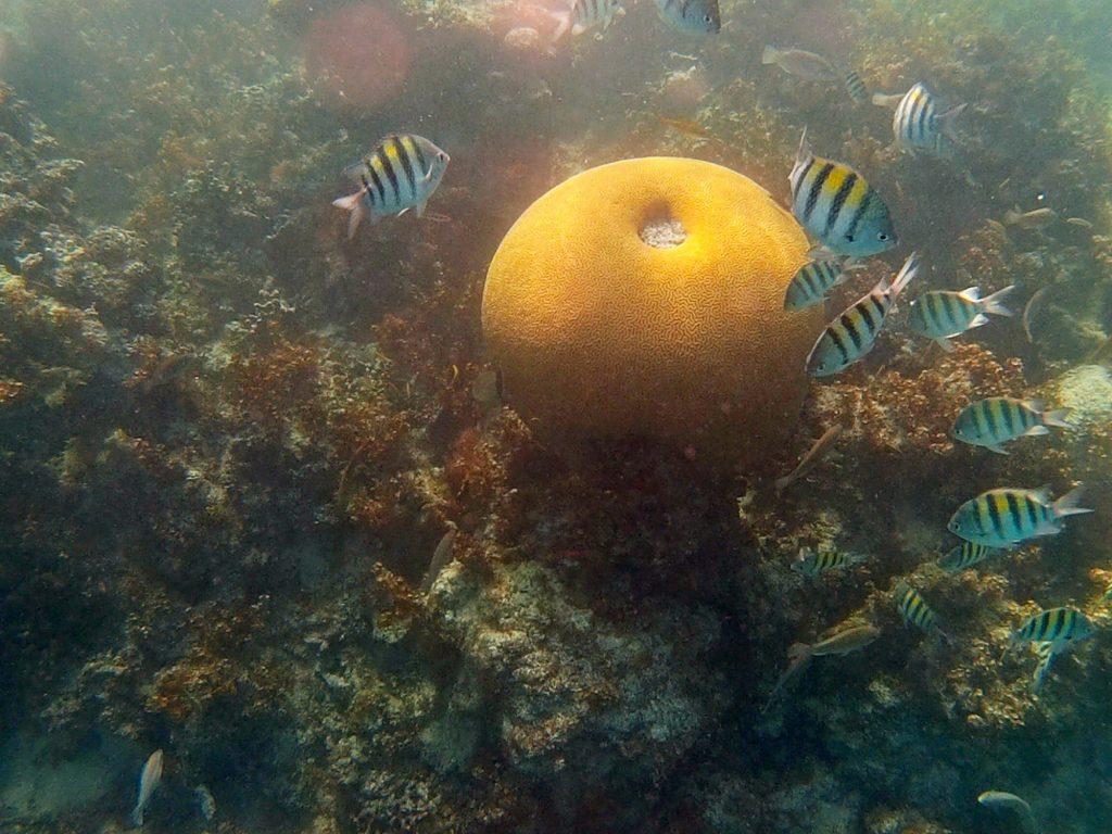 snorkeling a punta cana-brain-coral