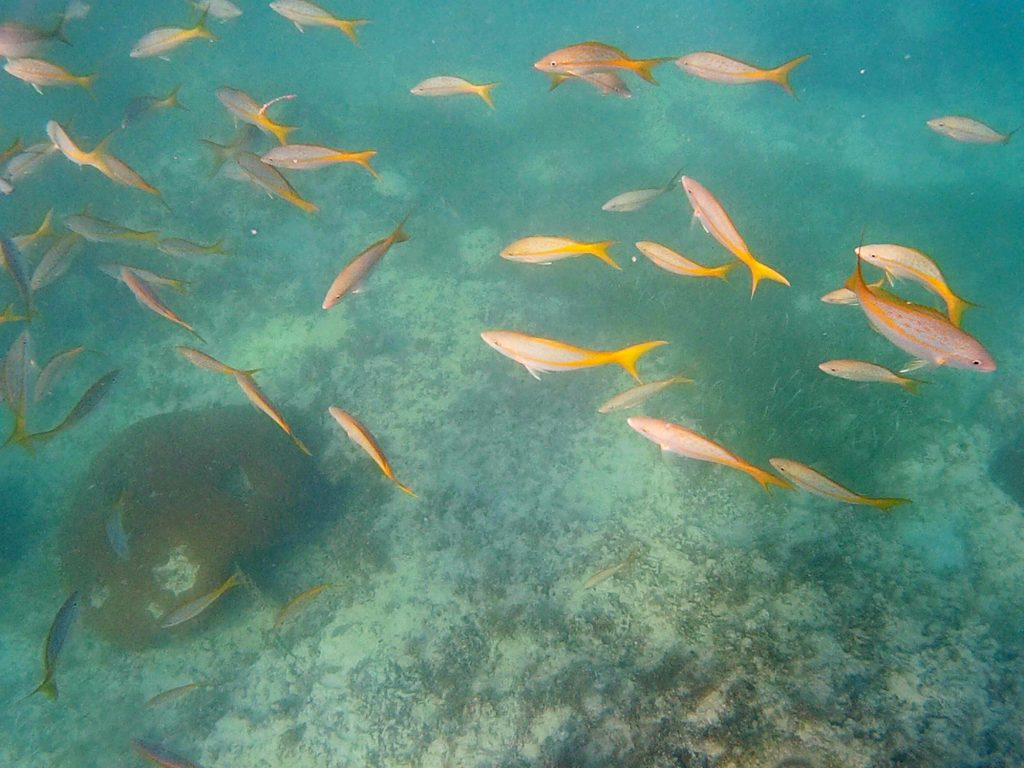 snorkeling a punta cana-pesci-gialli