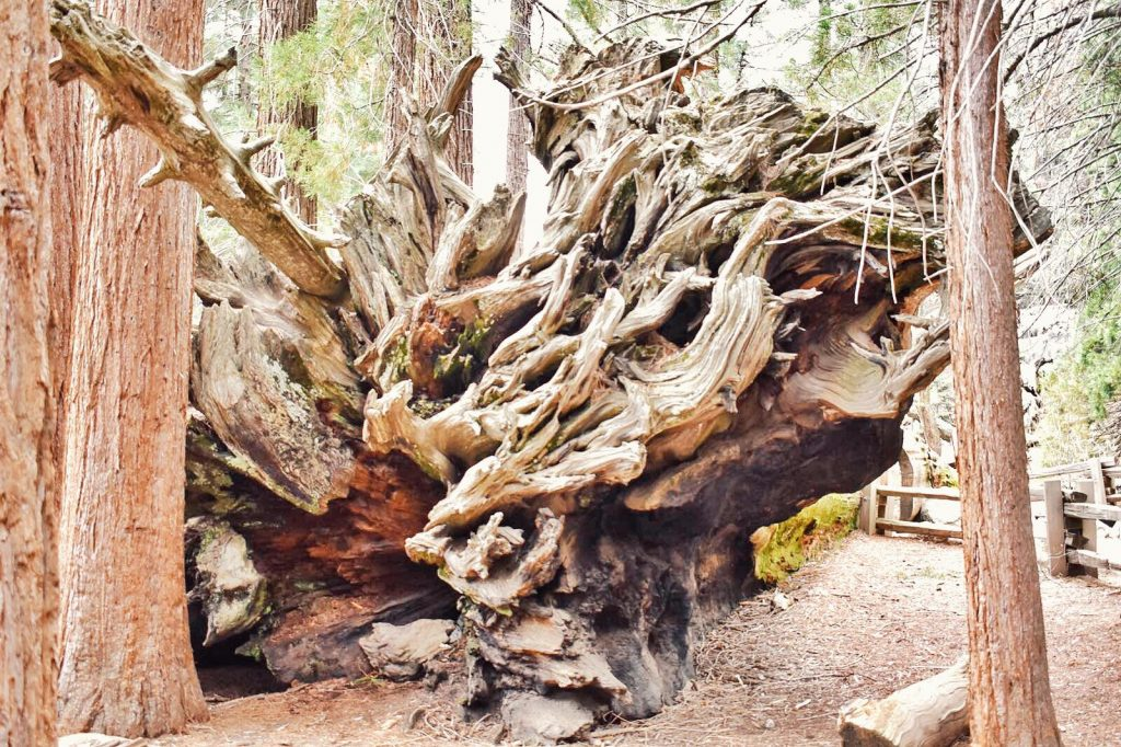 sequoia national park-radici