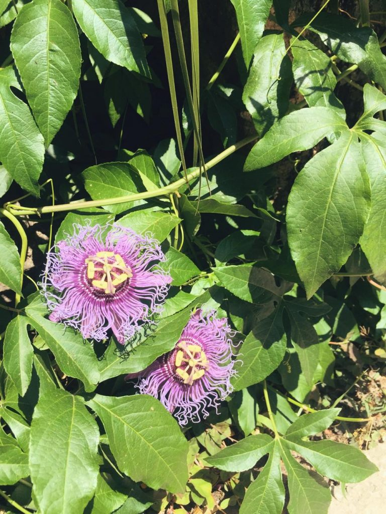 due giorni a Ischia-fiori-viola