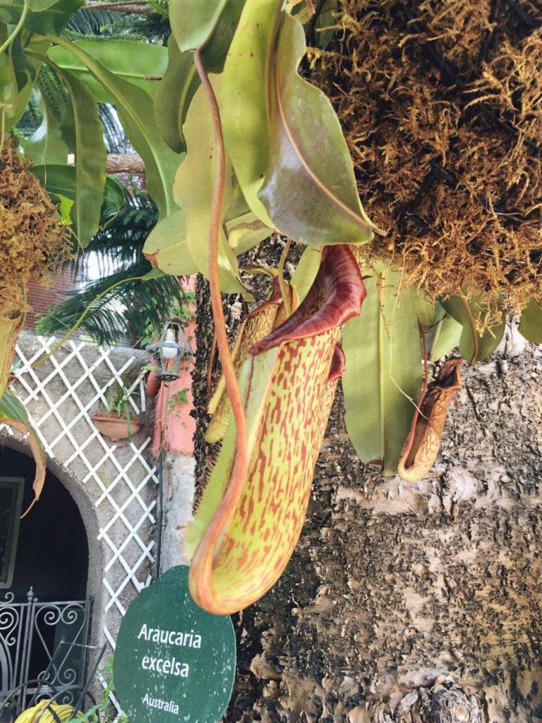 due giorni a Ischia-pianta-carnivora