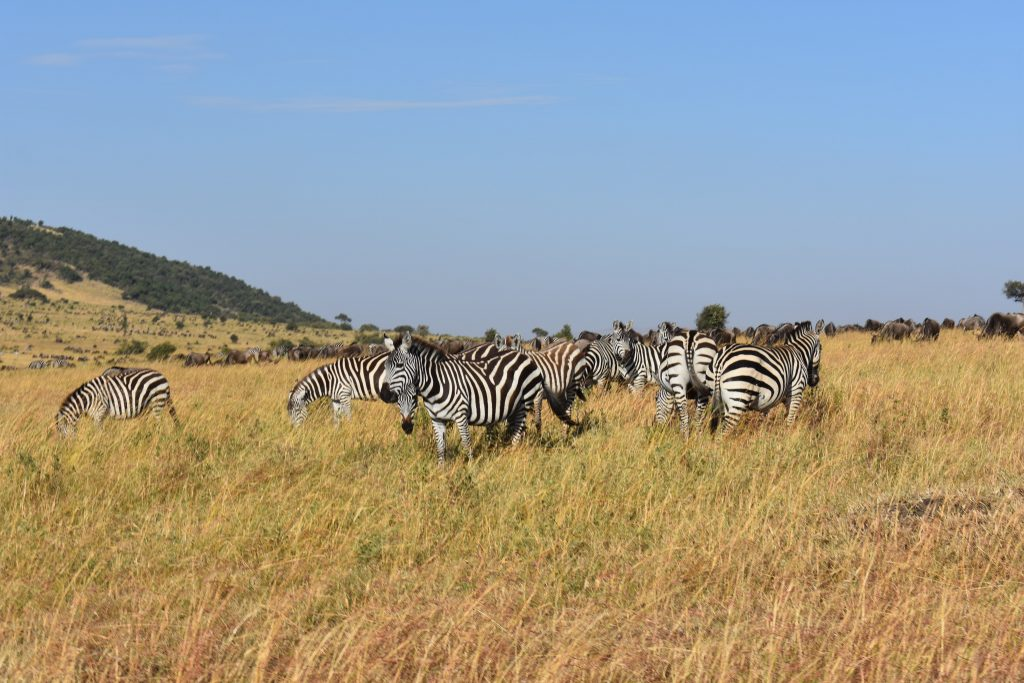 reportage di viaggio safari nel masai mara-zebre