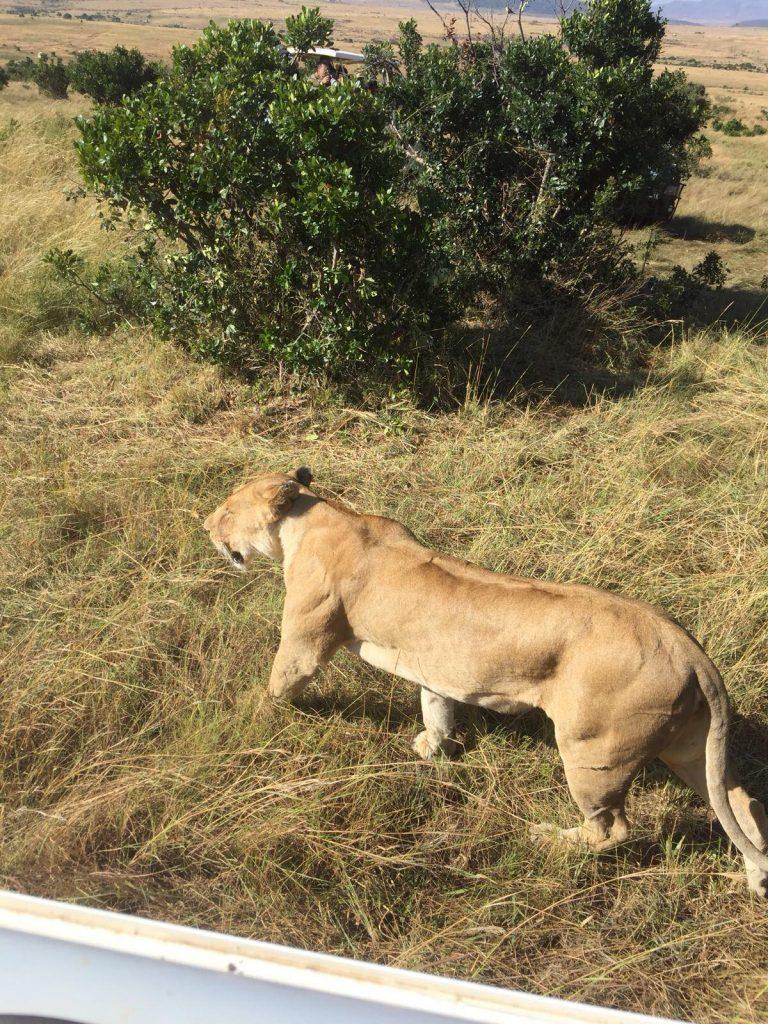 come organizzare un safari in kenya-leone