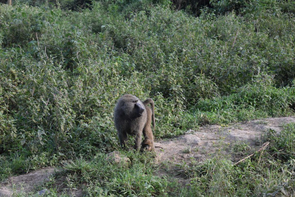 safari nel lake nakuru-babbuino