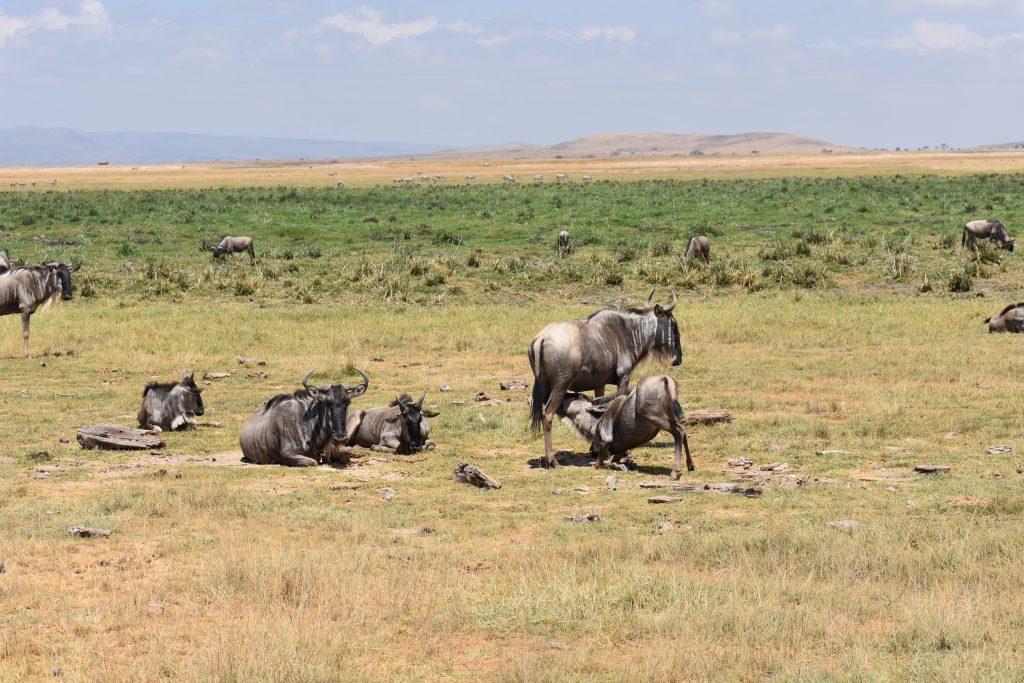 safari nell'Amboseli National Park-gnu-allattano