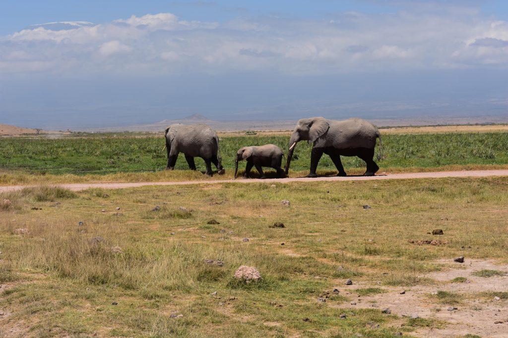 safari nell'Amboseli National Park-cucciolo-elefante