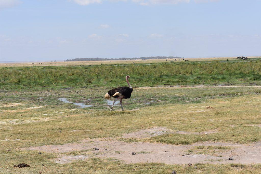 safari nell'Amboseli National Park-struzzo