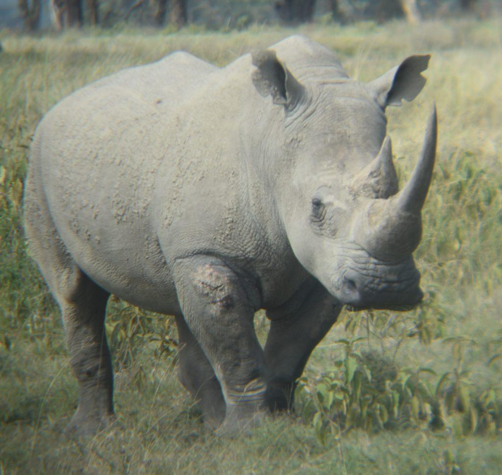 safari nel lake nakuru-rinoceronte bianco