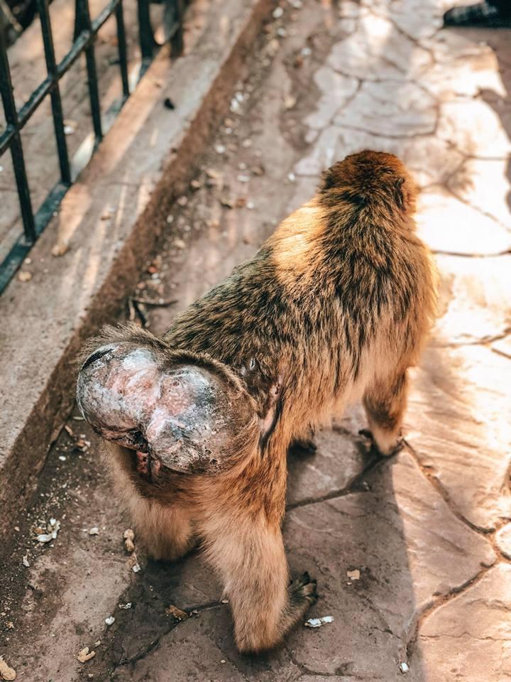 cascate di Ouzoud-macaco