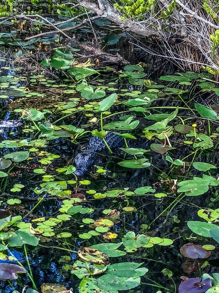 come visitare le Everglades-alligatore-nella-palude