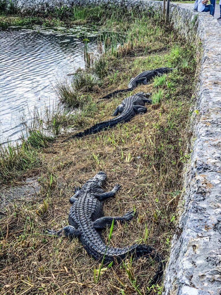 come visitare le Everglades-alligatori