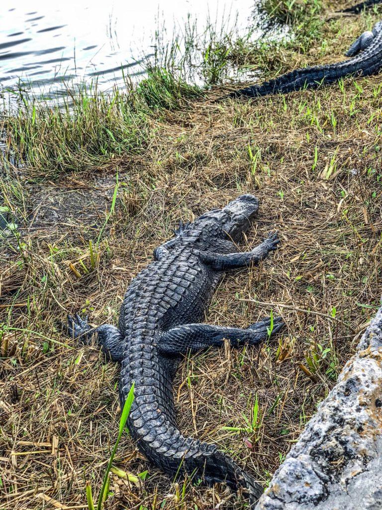 come visitare le Everglades-dettaglio-alligatore