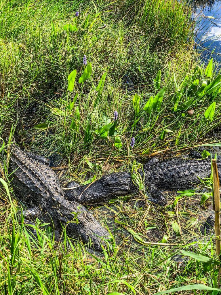 come visitare le Everglades-due-alligatori