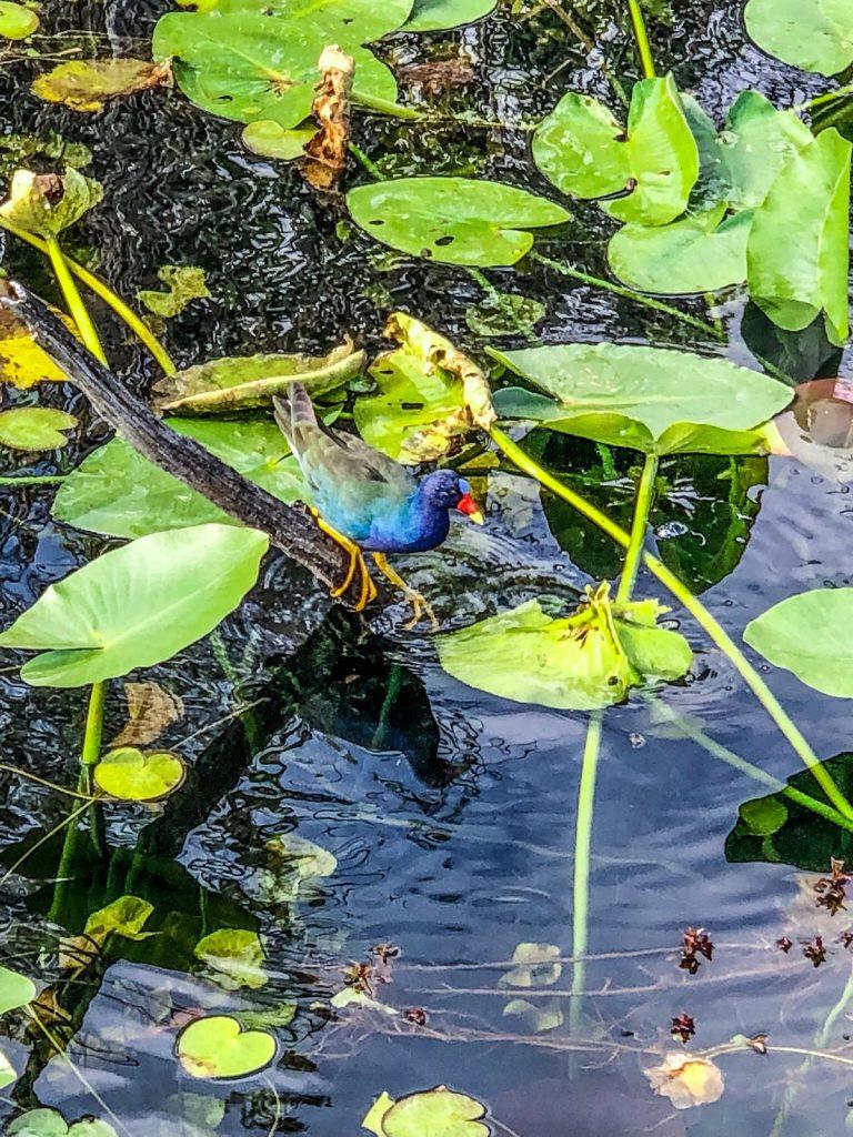 come visitare le Everglades-uccello-colorato