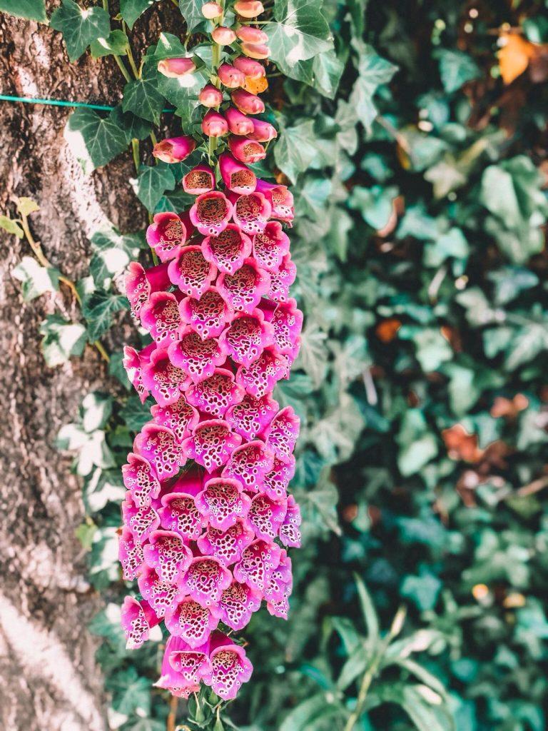 Giardini di Monet a Giverny-fiore-viola