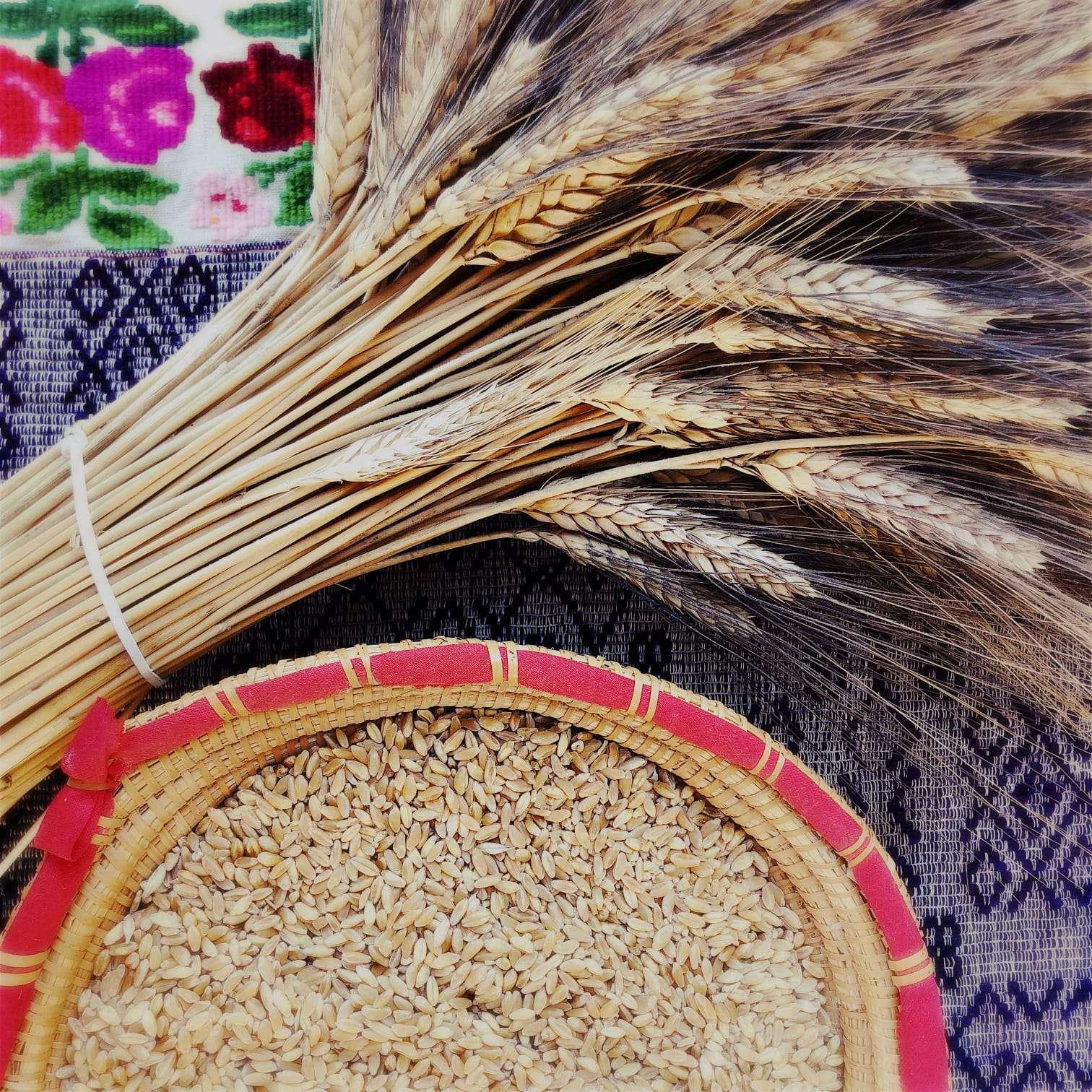 Cultura del grano in Sardegna-spighe