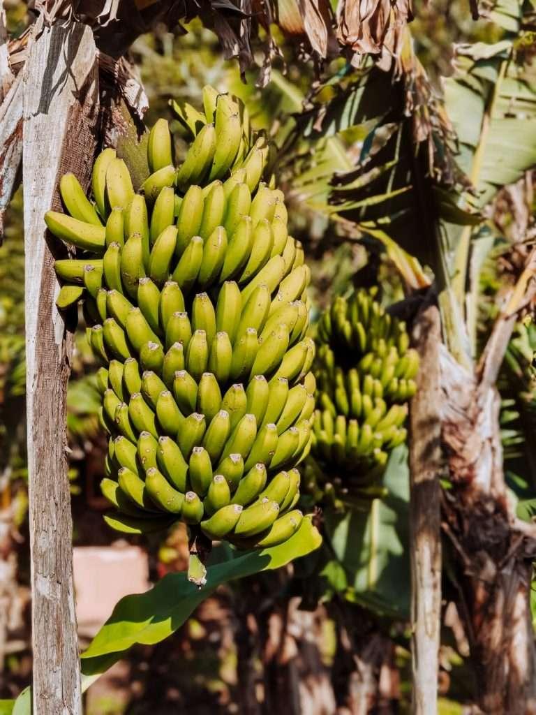 alloggi insoliti alle Azzorre-banane