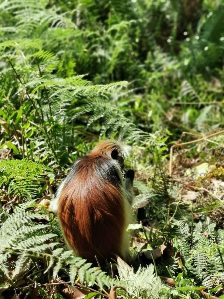 cosa fare a Zanzibar-colobo-rosso
