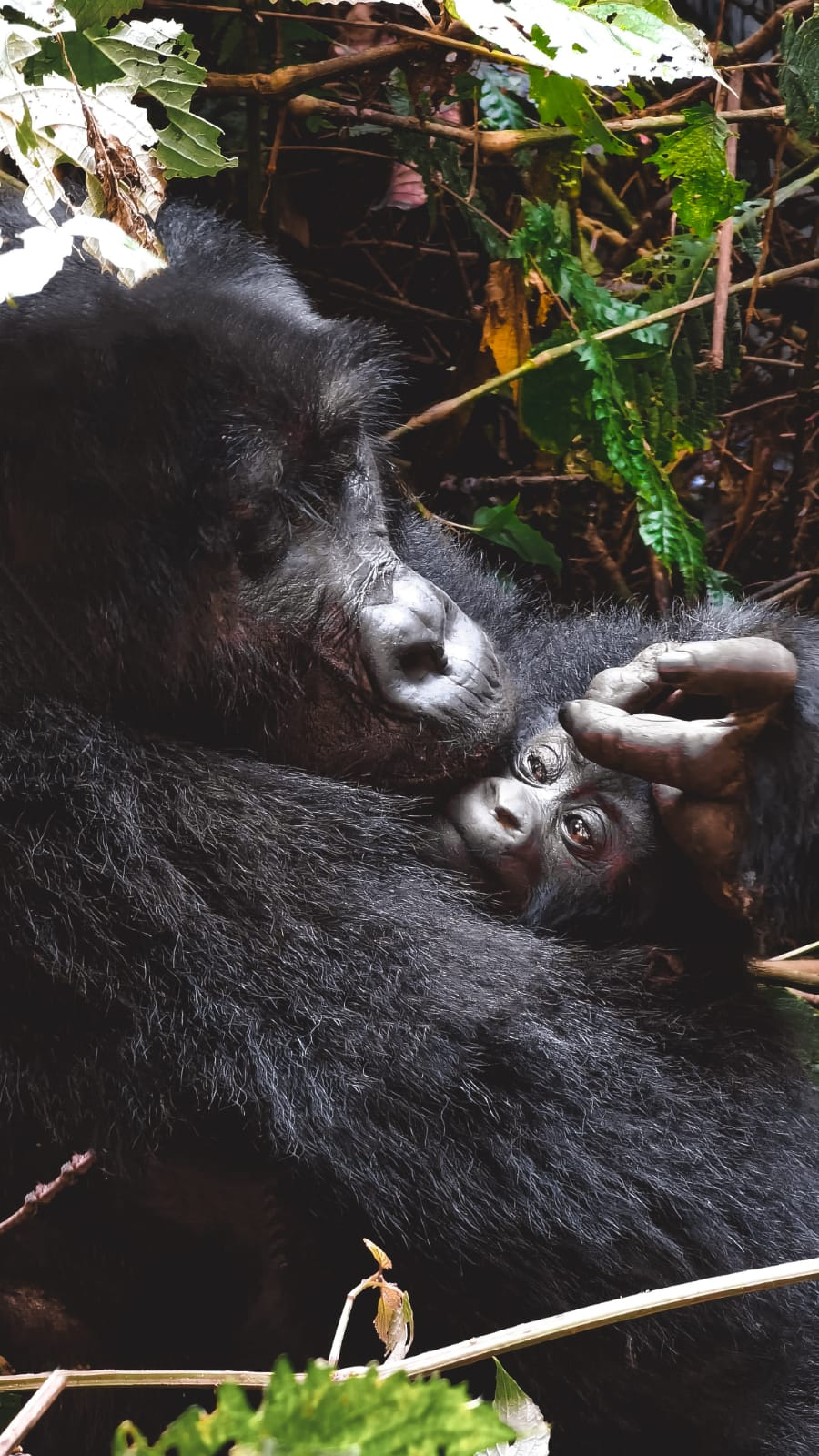 gorilla in Uganda-mamma